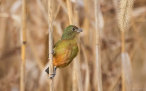 Painted Bunting, West Caldwell, NJ, Dec. 24, 2015 (photo by Chris Thomas)