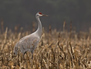 Sandhill Crane, Franklin Twp., NJ, Dec. 27, 2015 (photo by Jon Cochran)