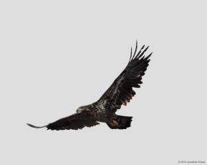 Bald Eagle, Morris County, NJ, Mar. 21, 2015 (photo by Jonathan Klizas)