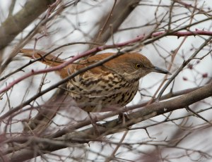Brown Thrasher, Great Swamp NWR, Jan. 22, 2016 (photo by Chuck Hantis)