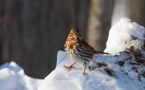 Fox Sparrow, Great Swamp NWR, NJ, Jan. 24, 2016 (photo by Chris Thomas)
