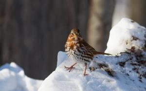Fox Sparrow, Great Swamp NWR, NJ, Jan. 24, 2016 (photo by Chris Thomas)