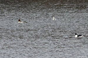 Long-tailed Duck with Common Mergansers, Clyde Potts Reservoir, Mendham Twp., NJ, Jan. 16, 2016 (photo by Jonathan Klizas)