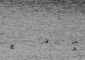 Long-tailed Duck with Common Mergansers, Clyde Potts Reservoir, Mendham Twp., NJ, Jan. 9, 2016 (photo by Jonathan Klizas)