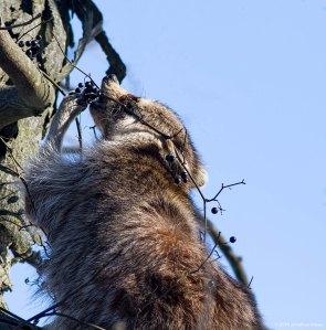 Raccoon, Great Swamp NWR, NJ, Jan. 28, 2016 (photo by Jonathan Klizas)