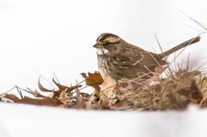 White-throated Sparrow, Great Swamp NWR, NJ, Jan. 26, 2016 (photo by Mike Newlon)