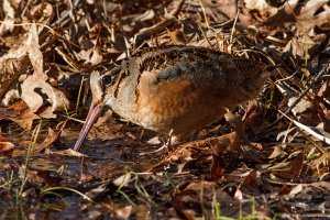 Am. Woodcock, Great Swamp NWR, NJ, Mar. 13, 2015 (photo by Jonathan Klizas) (photo by Jonathan Klizas)