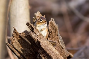 Eastern Chipmunk, Boonton Reservoir, NJ, Feb. 21, 2016 (photo by Jonathan Klizas)
