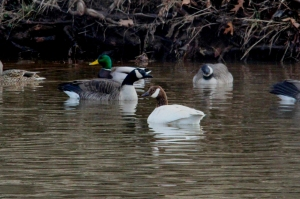Spackling Goose, Duke Island Park, NJ, Feb. 8, 2016 (photo by Jim Mulvey)