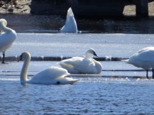 Tundra Swan, Lake Hopatcong, Feb. 22, 2016 (photo by Alan Boyd)