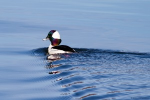 Bufflehead in morning light, Lake Hopatcong, NJ, Mar. 12, 2016 (photo by Jonathan Klizas)