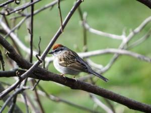 Chipping Sparrow, Roxbury Twp., NJ, Mar. 25, 2016 (photo by Alan Boyd)
