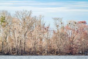Heronry at Boonton Reservoir, NJ, Mar. 20, 2016 (photo by Jonathan Klizas)