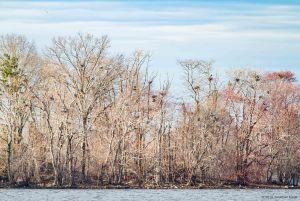 Heronry at Boonton Reservoir, NJ, Mar. 20, 2016 (photo by Jonathan Klizas)