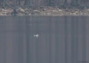 Long-tailed Ducks, Boonton Reservoir, NJ, Mar. 25, 2016 (ID photo by Jonathan Klizas)