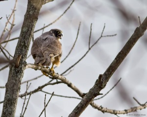 Peregrine Falcon, Boonton Reservoir, NJ, Mar. 20, 2016 (photo by Jonathan Klizas)