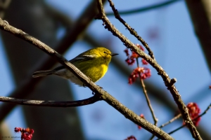 Pine Warbler, Troy Meadows, NJ, Mar. 24, 2016 (photo by Jonathan Klizas)