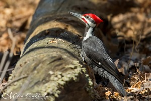Pileated Woodpecker, Bee Meadow Park, NJ, Mar. 22, 2016 (photo by Mitch Van Beekum)
