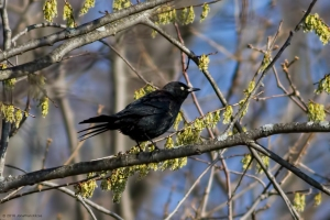 Rusty Blackbird, Troy Meadows, NJ, Mar. 24, 2016 (photo by Jonathan Klizas)