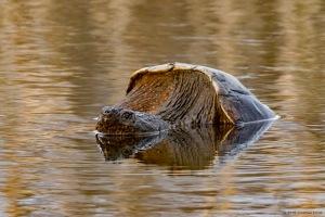 Snapping Turtle, Loantaka Brook Reservation, NJ, Mar. 10, 2016 (photo by Jonathan Klizas)