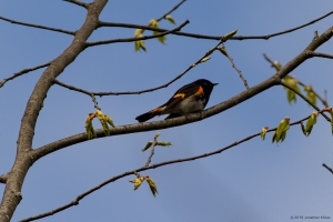 American Redstart, Rockaway Twp., NJ, Apr. 30, 2016 (photo by Jonathan Klizas)