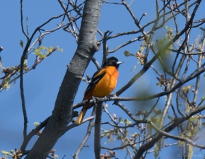 Baltimore Oriole, Hanover Twp., NJ, Apr. 24, 2016 (photo by Chuck Hantis)