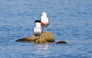 Caspian Tern, Lk. Musconetcong, NJ, Apr. 20, 2016 (photo by Jonathan Klizas)