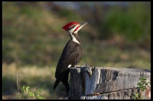 Pileated Woodpecker, Hanover Twp., NJ, Apr. 24, 2016 ( photo by David Blinder)