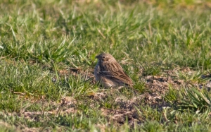 Vesper Sparrow, Florham Park, NJ, Apr. 10, 2016 (photo by Chris Thomas)