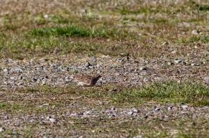 Vesper Sparrow, Mt. Olive Twp., NJ, Apr., 16, 2016 (photo by Jonathan Klizas)