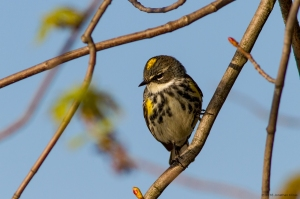 Yellow-rumped Warbler, Lincoln Park Gravel Pits, NJ, Apr. 24, 2016 (photo by Jonathan Klizas)