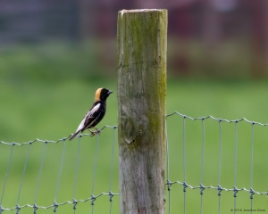 Bobolink, Harding Twp., NJ, May 9, 2016 (photo by Jonathan Klizas)