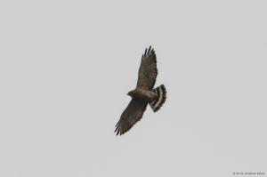 Broad-winged Hawk, Mt. Olive Twp., NJ, May 8, 2016 (photo by Jonathan Klizas)