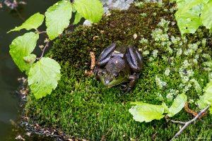 Bullfrog (Rana catesbeiana), Saffin Rock-Rill Reservation, NJ, May 22, 2016 (photo by Jonathan Klizas)