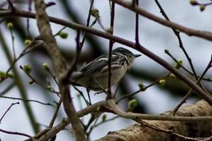 Cerulean Warbler, Mt. Olive Twp., NJ, May 8, 2016 (photo by Jonathan Klizas)