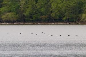 Common Loons, Boonton Reservoir, NJ, May 7, 2016 (photo by Jonathan Klizas)