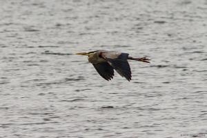 Great Blue Heron, Boonton Reservoir, NJ, May 7, 2016 (photo by Jonathan Klizas)