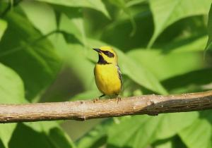 Lawrence's Warbler, Lincoln Park, NJ, May 28, 2016 (photo by Jill Homcy)