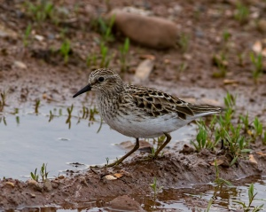 Least Sandpiper, Florham Park, NJ, May 9, 2016 (photo by honathan Klizas)