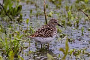 Least Sandpiper, Lincoln Park Gravel Pits, NJ, May 17, 2016 (photo by Jonathan Klizas)