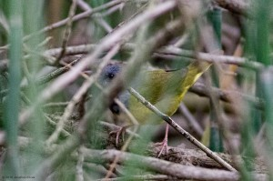 Mourning Warbler, Lincoln Park Gravel Pits, NJ, May 17, 2016 (photo by Jonathan Klizas)
