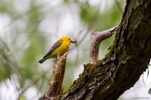 Prothonotary Warbler, Lincoln Park Gravel Pits, NJ, May 21, 2016 (photo by Jonathan Klizas)