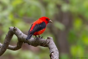 Scarlet Tanager, Mahlon Dickerson Reservation, NJ, May 22, 2016 (photo by Jonathan Klizas)