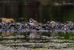 Semipalmated Plover, Lincoln Park Gravel Pits, NJ, May 17, 2016 (photo by Jonathan Klizas)