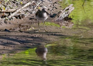 Solitary Sandpiper, Troy Meadows, NJ, May 15, 2016 (photo by Jonathan Klizas)