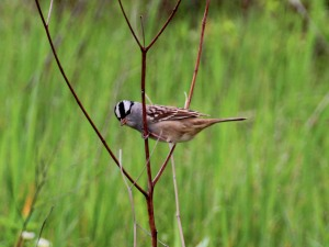 White-crowned Sparrow, Great Swamp NWR, NJ, May 14, 2016 (photo by Jim Mulvey)