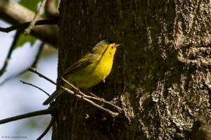 Wilson's Warbler, Troy Meadows, NJ, May 15, 2016 (photo by Jonathan Klizas)
