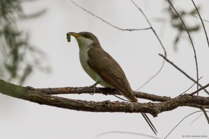 Yellow-billed Cuckoo, Lincoln Park Gravel Pits, NJ, May 21, 2016 (photo by Jonathan Klizas)