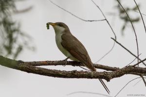 Yellow-billed Cuckoo, Lincoln Park Gravel Pits, NJ, May 21, 2016 (photo by Jonathan Klizas)