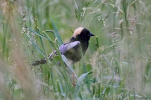 Bobolink, Frelinghuysen Fields, Harding Twp., NJ, June 5, 2016 (photo by Jonathan Klizas)